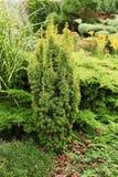 Yew Дэвида - часть ландшафта сада стоковые изображения rf