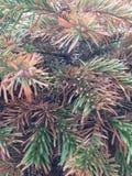 yew Стоковая Фотография RF