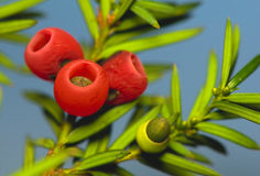 Yew - baacata taxus Стоковые Изображения RF