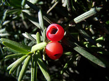 Yew Berries. Red Berries on Yew bush stock photos