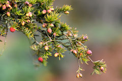 Yew berries (arils) Royalty Free Stock Photography