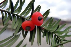 Yew berries Stock Images