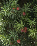 Yew berries. And plant, wild, Pittsburgh royalty free stock photo