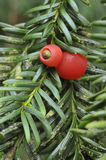 Yew Berries - Taxus baccata. Two red Yew Berries - Taxus baccata Royalty Free Stock Photo