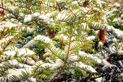 Yew Branches in the Winter Snow Royalty Free Stock Photos