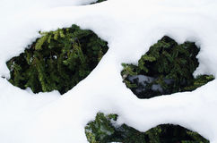 Yew bush evergreen branches under snow winter Stock Photos