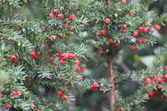 Yew Fruits Stock Photography