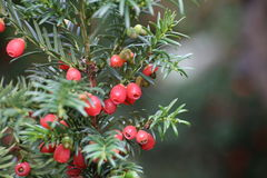 Yew Fruits Royalty Free Stock Image