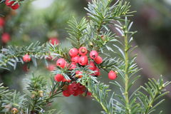 Yew Fruits. Edible red fruits of the otherwise poisonous european yew (Taxus baccata royalty free stock photography