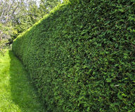 Yew Hedge Stock Images