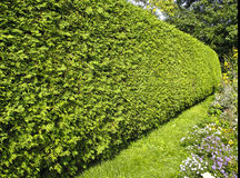Yew Hedge. In traditional garden stock photos