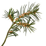 Yew Leaf Sprig. With seeds, isolated over white background. Used for medicinal purposes in pharmacy but is also highly poisonous. Taxus baccata royalty free stock image