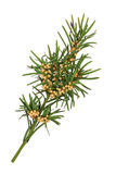 Yew Leaf Sprig Royalty Free Stock Photo