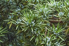 Yew plum pine tree with cones. Yew plum pine Podocarpus macrophyllus. Called Buddhist pine, yew pine and Fern pine also stock photo