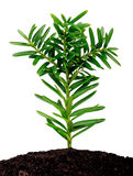 Yew seedling ( Taxus cuspidata ) Royalty Free Stock Photo