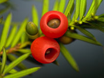 Yew - taxus baacata. Fruit - the only edible part - the rest of the poisonous stock photography