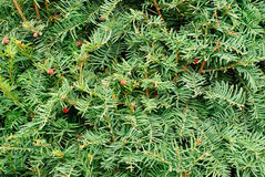 Yew (Taxus baccata) green leaves and red fruit Royalty Free Stock Images