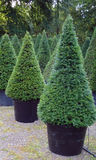 Yew (Taxus baccata) plants. Yew taxus baccata is a conifer and produce as ornamental gardens decoration trees stock photo