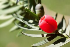 Yew, Taxus, Plant, Bush, Periwinkle Royalty Free Stock Photo