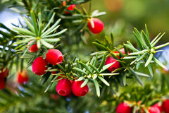 Yew tree. With red fruits royalty free stock photo