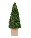 Yew tree Stock Photography