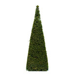 Yew tree. On a white background Stock Images