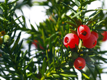 Yew tree. Red fruits of a coniferous tree Royalty Free Stock Image
