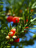 Yew tree. Red fruits of a coniferous tree Royalty Free Stock Photo