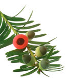 Yew Tree. Branch isolated on white.  is used in pharmacy, but it is also highly poisonous, except the bright red tisue surrounding the seed stock image