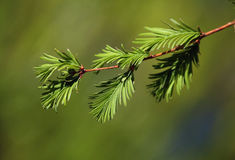 Yew tree branch. Evergreen tree Taxus baccata, English yew or European yew royalty free stock image