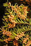 Yew tree. Branch with green leafs and flowers Stock Photos
