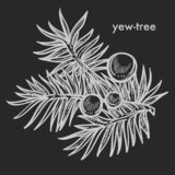 Yew tree branch with seed cones and needle leaves hand drawn sketch royalty free stock photography