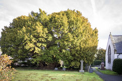 Yew Tree, Church of St Digain, Llangernyw, Wales. A 4000 year old Yew Tree in the graveyard of a small whitewashed rural church in the centre of the village Royalty Free Stock Image