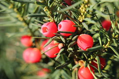Yew tree fruits Stock Photography