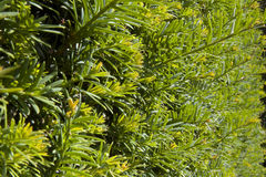 Yew Tree Hedge. Clipped yew hedge, Taxus Baccata stock photos