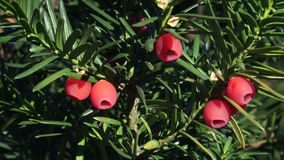 Yew tree with red fruits. Taxus baccata stock video footage