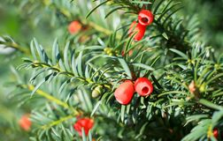 Yew tree with red fruits Stock Photos