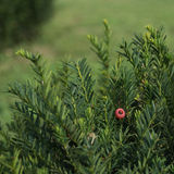 Yew tree with red fruits. Royalty Free Stock Image