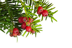 Yew tree with red fruits on a white background Royalty Free Stock Photo