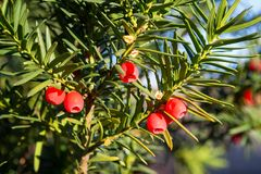 Yew tree with red fruits. Royalty Free Stock Photo