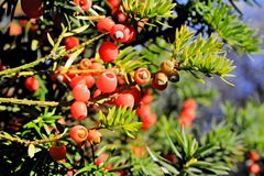 Yew tree. Several branches of yew tree with red fruits and green needles on the tops Royalty Free Stock Image