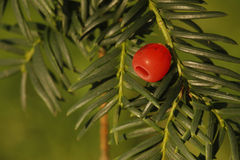 Yew tree, Taxus baccata Royalty Free Stock Images