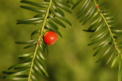 Yew tree, Taxus baccata Royalty Free Stock Photo