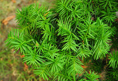 Yew tree. Taxus baccata. Stock Photos