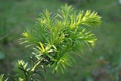 Yew tree (Taxus cuspidata). Royalty Free Stock Image