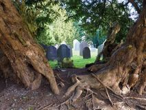Yew tree, 4000 years old, framing church gravestones. Yew tree, St Digain`s Church, Llangernyw, N. Wales, 4000 years old, timeless, framing sunlit gravestones royalty free stock images