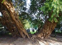 Yew tree, 4000 years old, framing church gravestones. Yew tree, St Digain`s Church, Llangernyw, N. Wales, 4000 years old, timeless, framing sunlit gravestones stock photos