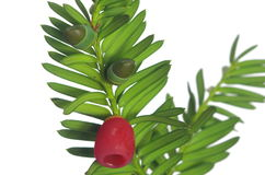 Yew twig with fruits Royalty Free Stock Images