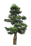 Yewpodocarpus royaltyfria bilder