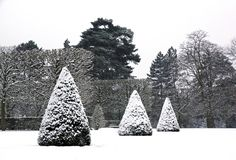 Yews cut in cone covered with snow Stock Photography